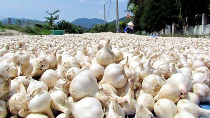 Đặc sản tỏi Lý Sơn Quảng Ngãi nổi tiếng khắp cả nước 1