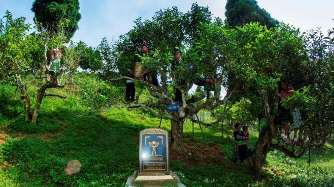 Đặc sản chè Shan Tuyết Suối Giàng - Yên Bái 3