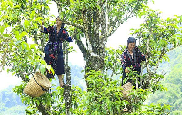 Đặc sản chè Shan Tuyết Suối Giàng - Yên Bái 2